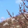 京郊山杏花满坡
