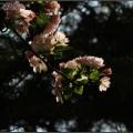 2014.04.04地坛的樱花和花卉