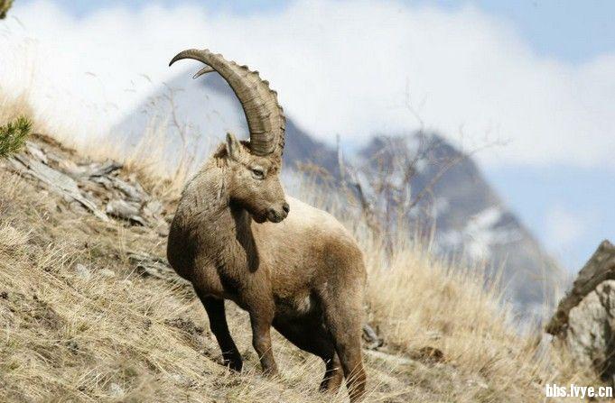 牧场动物北山羊