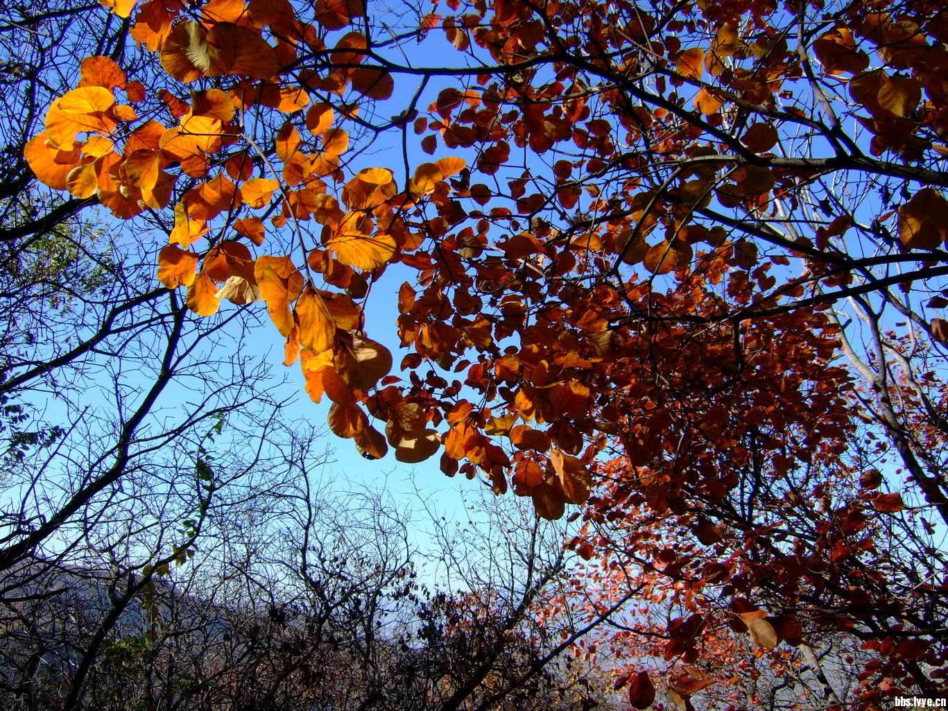美丽的香山红叶