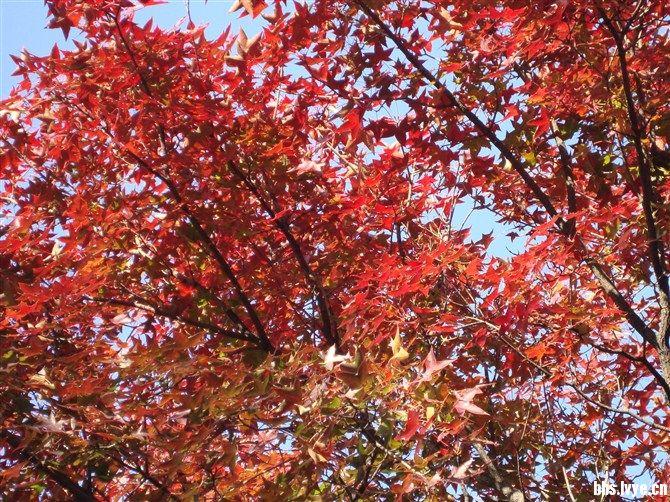 北京金秋西山红叶风景贴