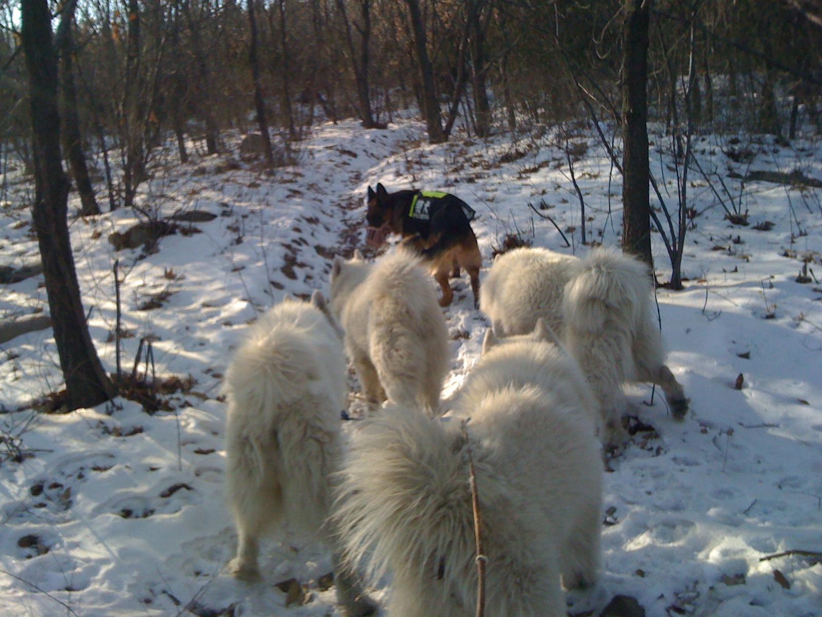 香山雪地里发现野猪蹄印