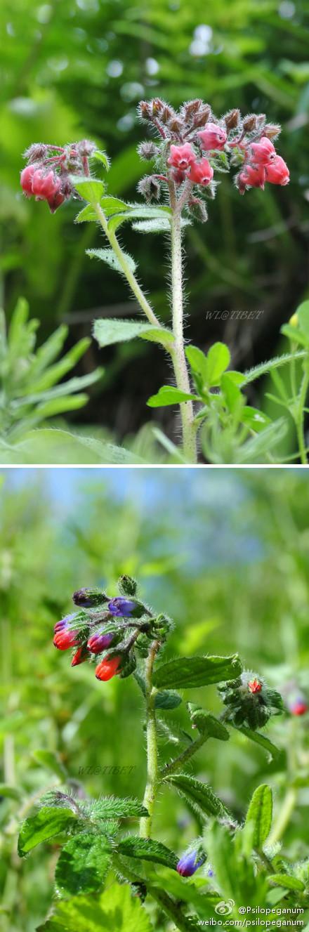 紫草科 污花胀萼紫草和二色胀萼紫草.jpg