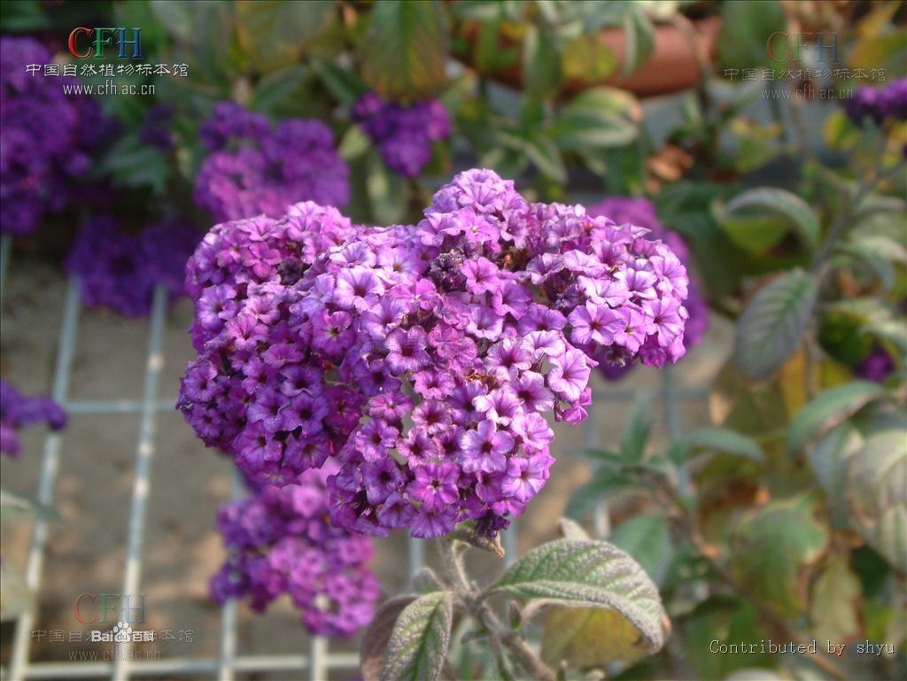 紫草科天芥菜2.jpg