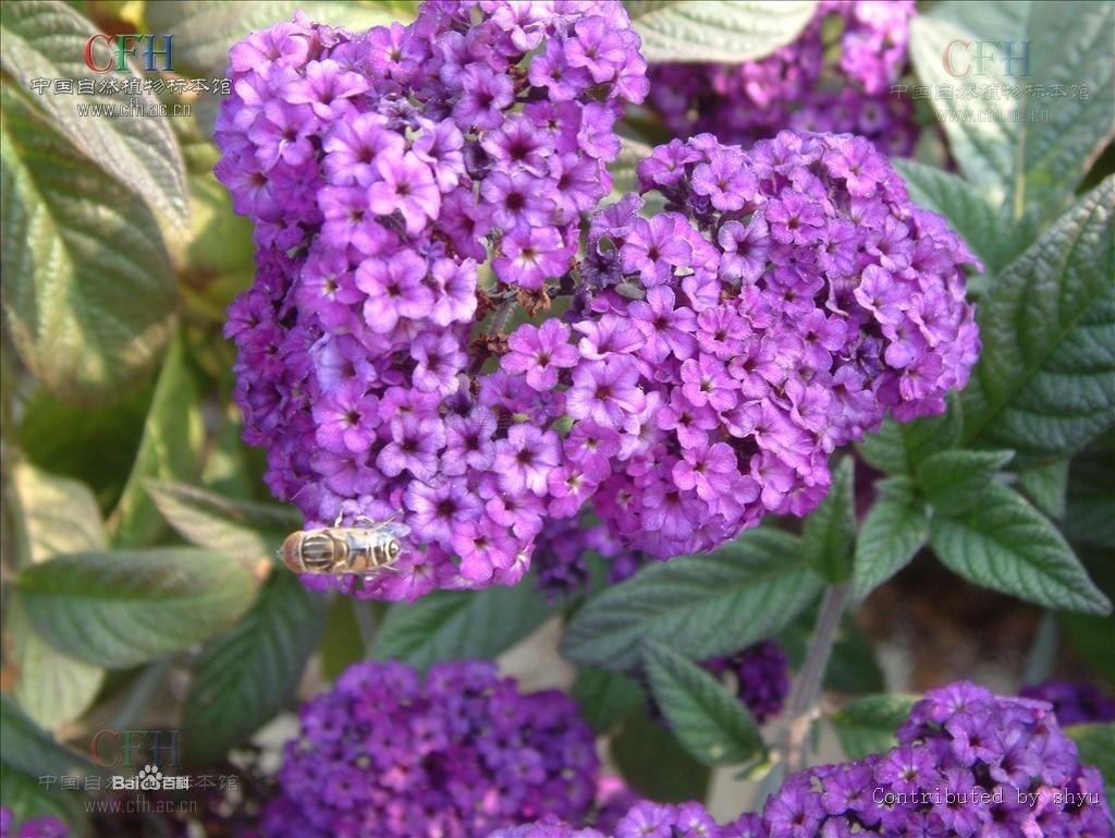 紫草科天芥菜3.jpg