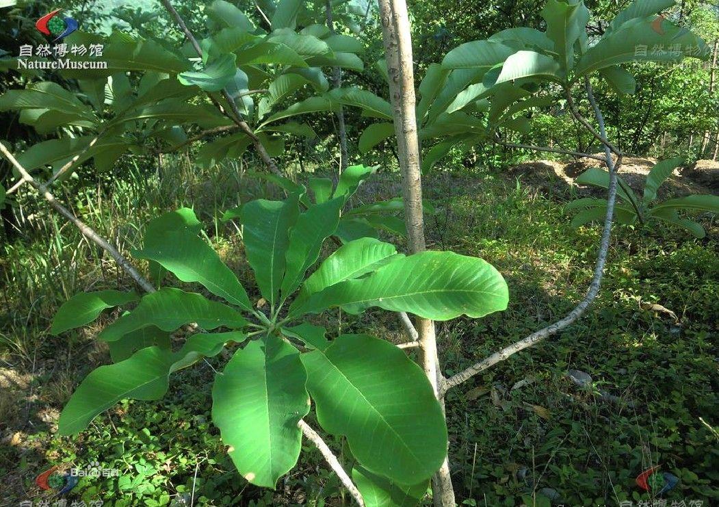 76.猕猴桃科 这个科本来属于普通水果的行列了,但是,户外还存在许多野生的猕猴桃,在户外断粮、迷路、缺水、维生素缺乏之时,猕猴桃科的果实是救命的宝贝,所以还是列出来吧! 关于猕猴桃,有一个很可笑的轶事:新西兰是没有猕猴桃的,于是他们从中国引种了猕猴桃,由于那里的土壤和气候很适合这种植物生长,因此新西兰的猕猴桃长得十分完美,然后搞上精美的包装,印上新西兰奇异果高价卖回中国,中国人就以食用新西兰奇异果为荣了。压根都忘了这货是土生土长的中国货啊 外国的月亮果真比中国圆吗? 猕猴桃科,茶亚目的一科,