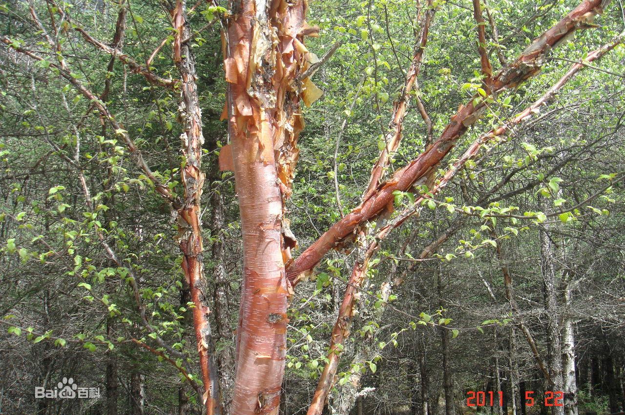 80.木贼科 关于木贼科的知识,我寻他多年。到现在为止,逢时过节,木贼科的一些植物还被家乡的亲人们用来擦洗各种实木家具,从不用什么洗涤灵之类的玩意,非常好使。能把那些年头久远的实木家具擦得铮亮铮亮的。 记忆深刻。 属于蕨类植物门,楔叶蕨亚门,木贼目的一个科。木贼科植物仅一属,即木贼属约 30 种,除大洋洲外,世界各地均有分布。中国产9 种,其中长白山地区有 6 种,即问荆、木贼、草问荆、犬问荆、节节草及林下问荆]。 木贼科为蕨类植物,是古老的一大类群,具有较强的环境适应能力。我国古代本草中曾记载 :问荆苦