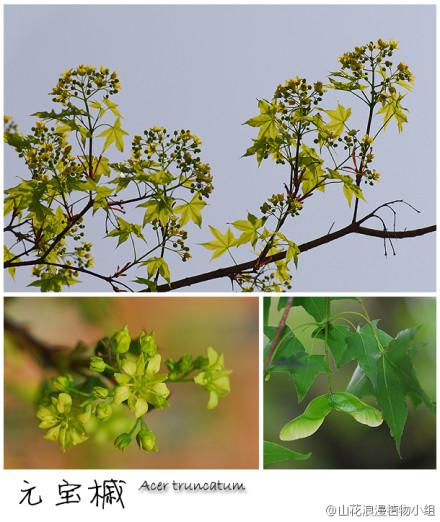 槭树科,元宝槭,槭树属.jpg