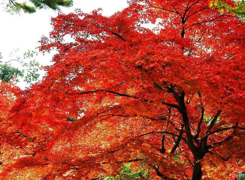 槭树科槭树3.jpg