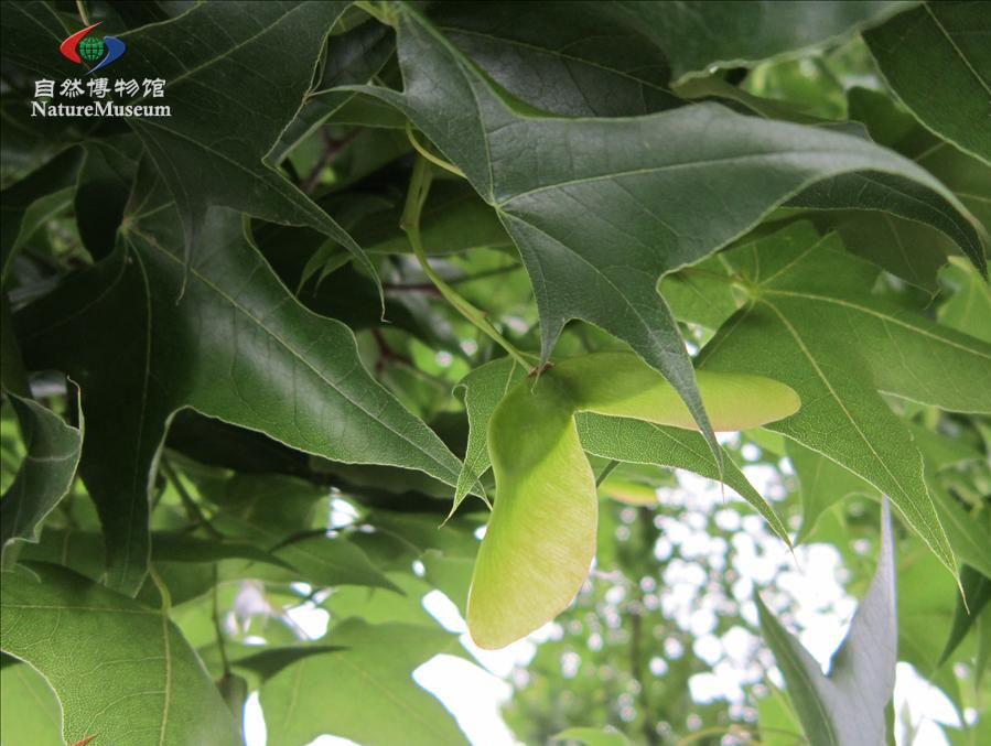 槭树科槭树2.jpg
