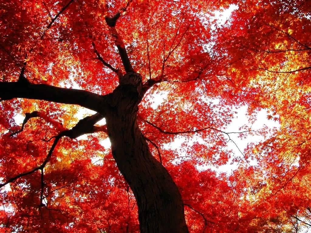 槭树科槭树4.jpg