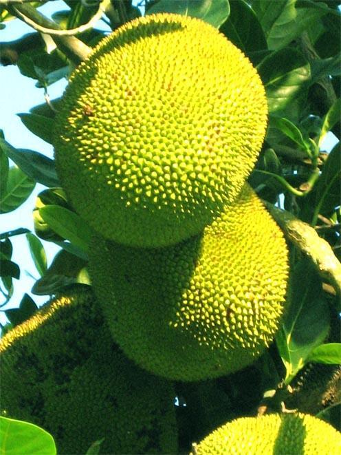 桑科菠萝蜜1.jpg