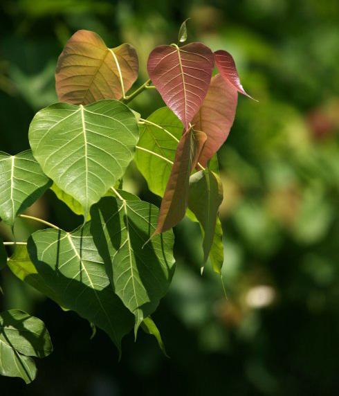 桑科榕属 菩提树 毕钵罗树3.jpg