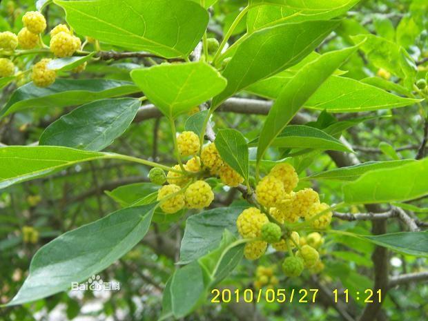桑科柘树1.jpg