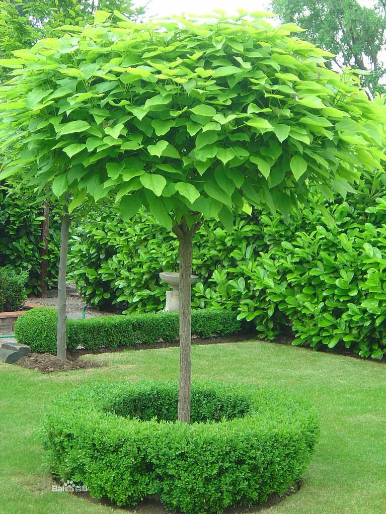 紫崴科辛树属01.jpg