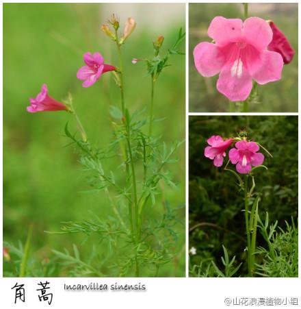 紫葳科,角蒿,角蒿属.jpg