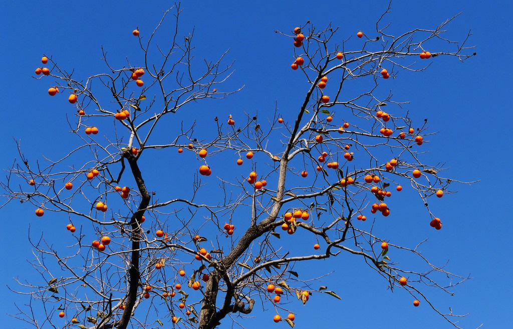 柿树科柿子树1.jpg