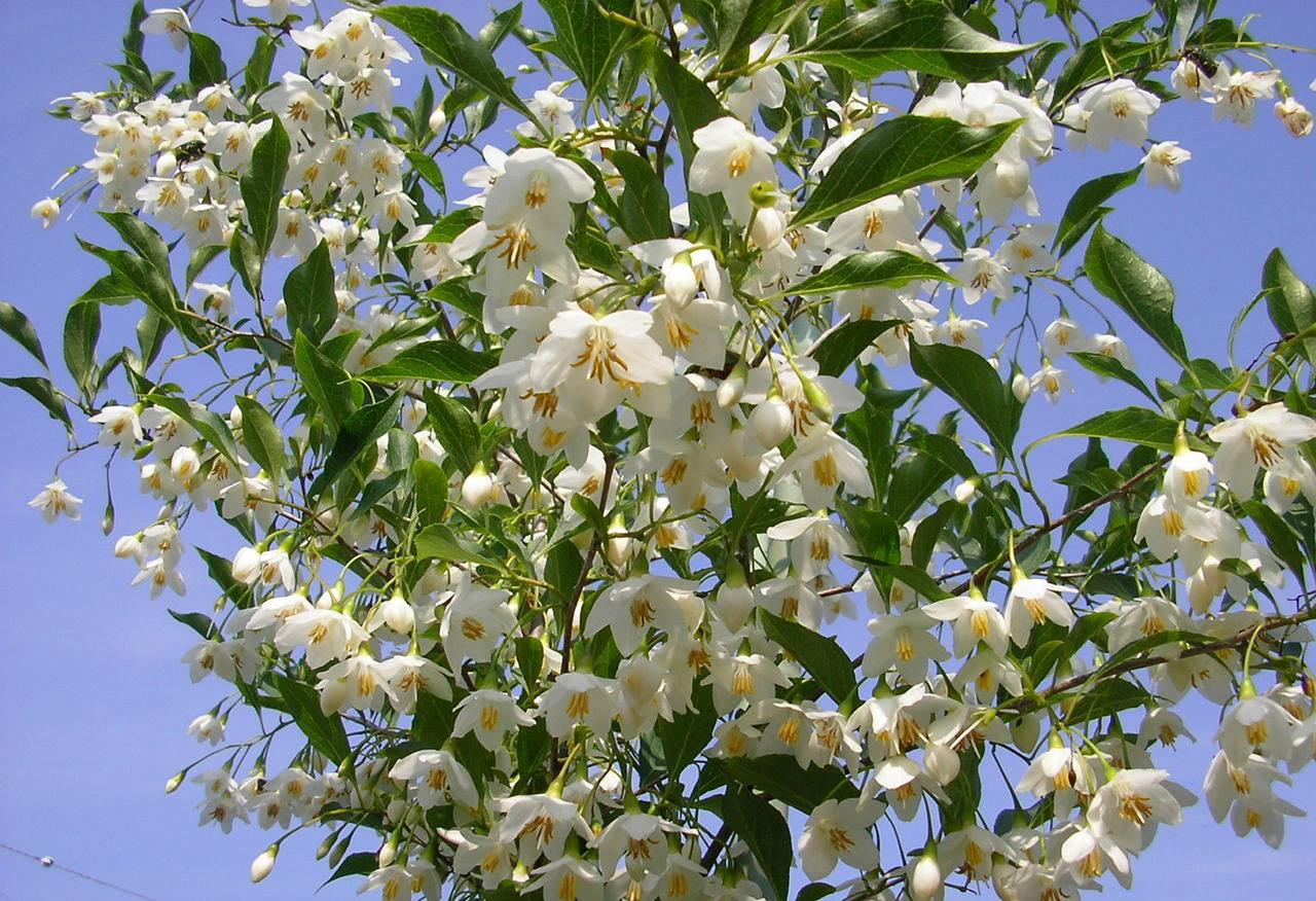柿树科柿子树4.jpg