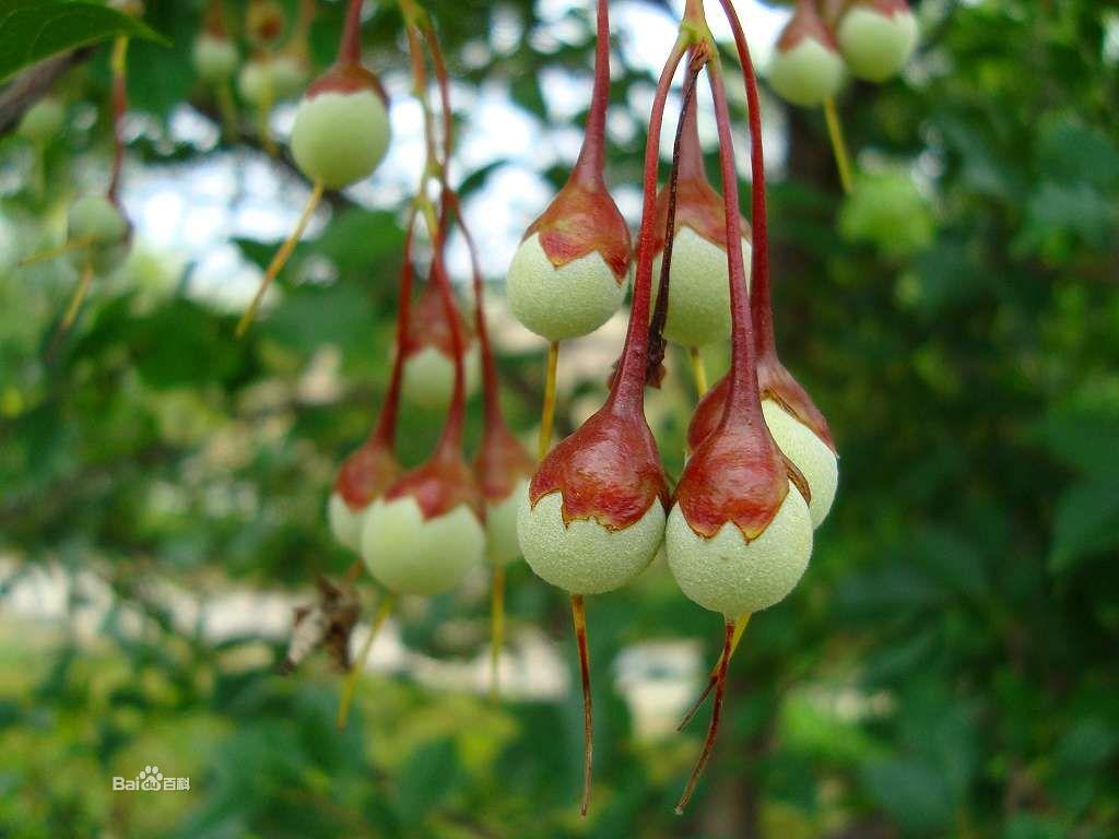 柿树科柿子树5.jpg