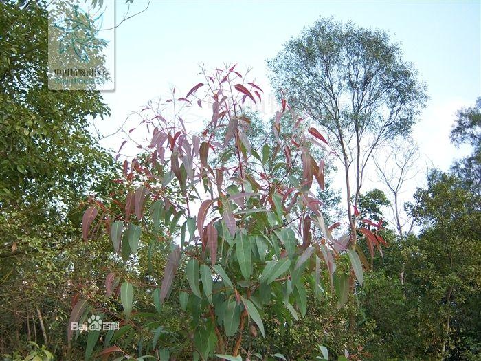 桃金娘科桉树2.jpg
