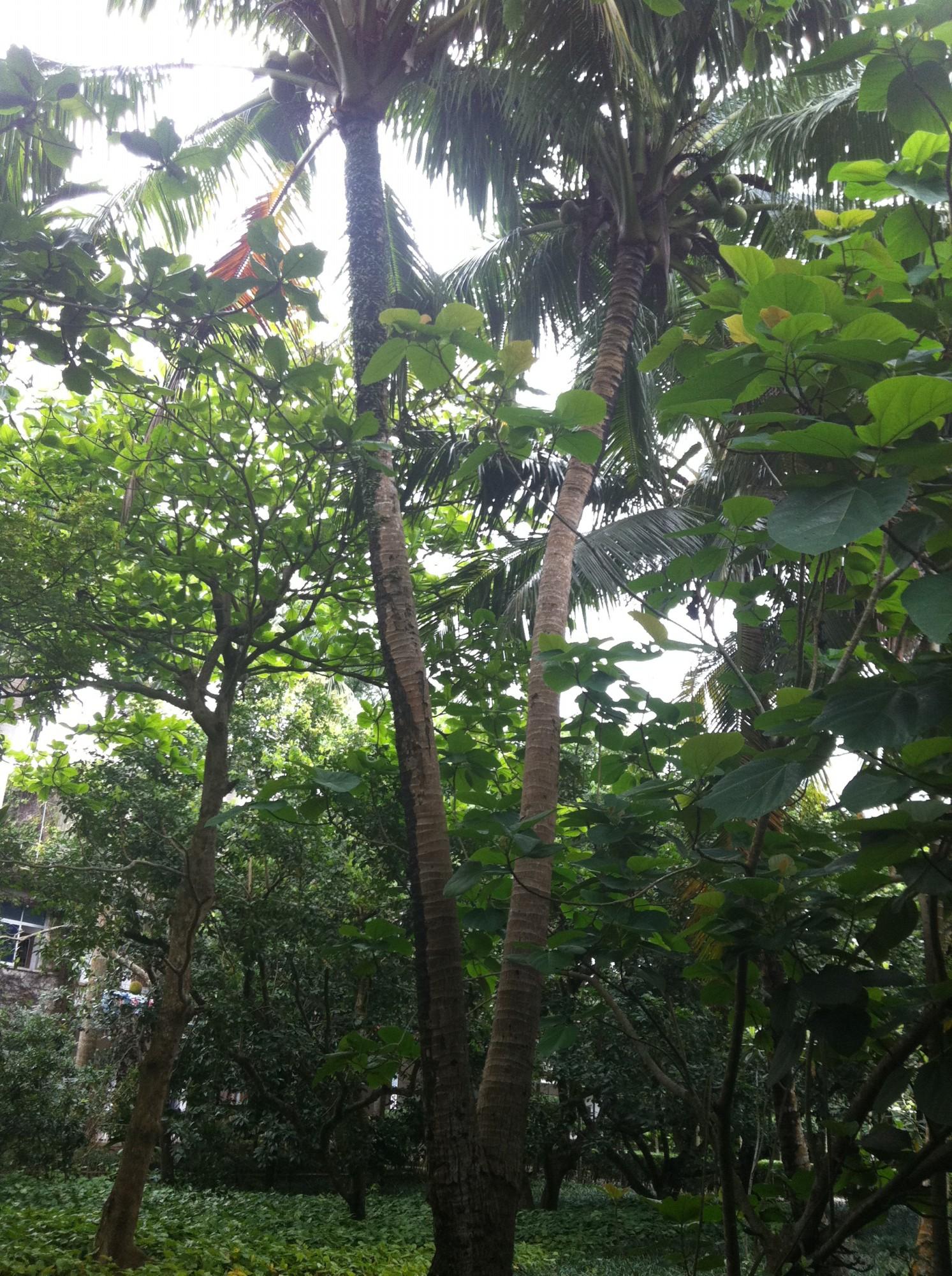 分叉椰子树