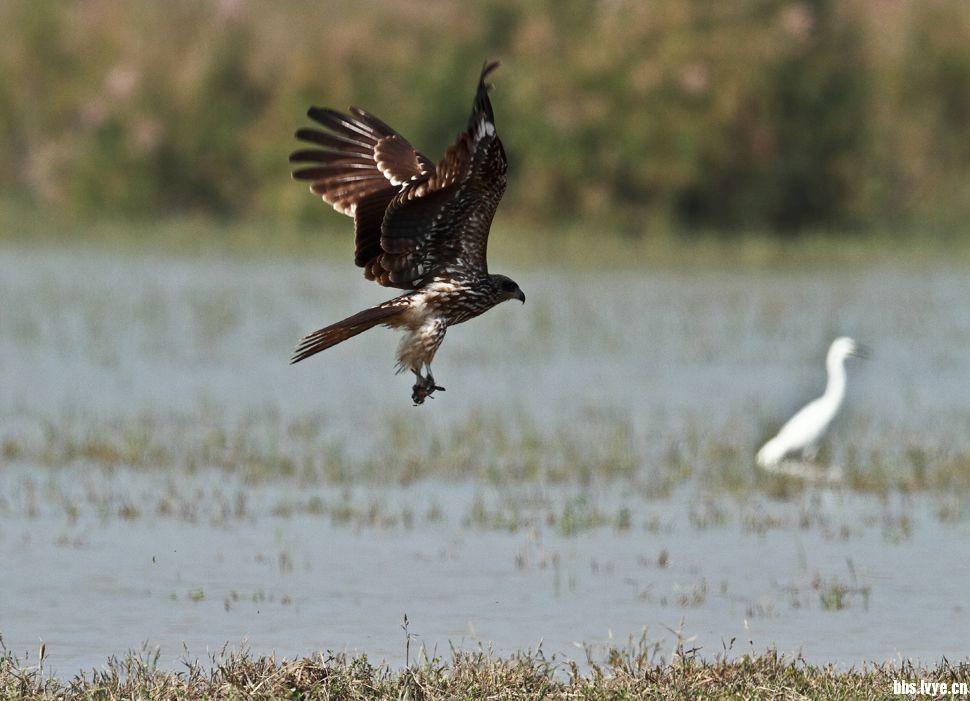黑耳鸢:为鹰科齿鹰亚科的鸟类,是一种体型略大的猛禽,体长约65厘米,体羽深褐色,尾略显分叉,腿爪灰白色有黑爪尖,眼睛棕红色。广泛分布于亚洲北部至日本。一般栖息于开阔的平原、草地、荒原和低山丘陵地带,也常在城郊、村庄、田野、港湾、湖泊上空活动,以小鸟、鼠类、蛇、蛙、野兔、鱼、蜥蜴和昆虫等动物性食物为食,偶尔也吃家禽和腐尸,是大自然中的清道夫。
