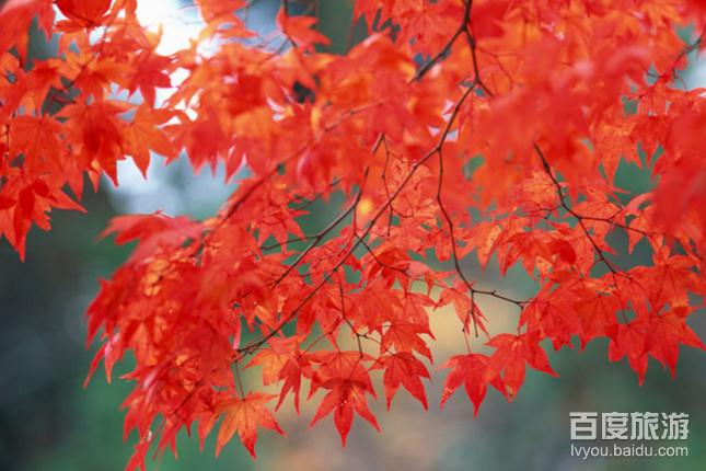 喇叭沟门原始深林,白桦林摄影,赏红叶,五龙潭 风景区