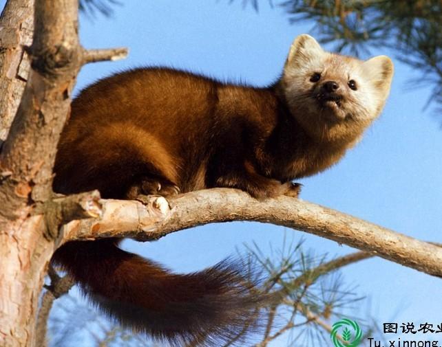 石貂——国家二级保护重点保护动物