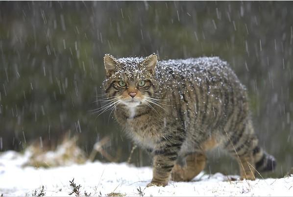 野猫——国家二级重点保护动物