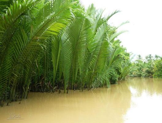 越南椰子树