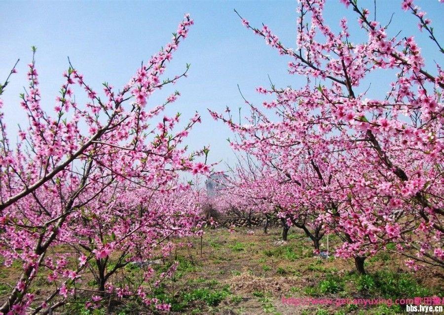 """爱情河畔,世外桃源""""---长葛市首届桃花节将于3月25日至4月20日在我国"""