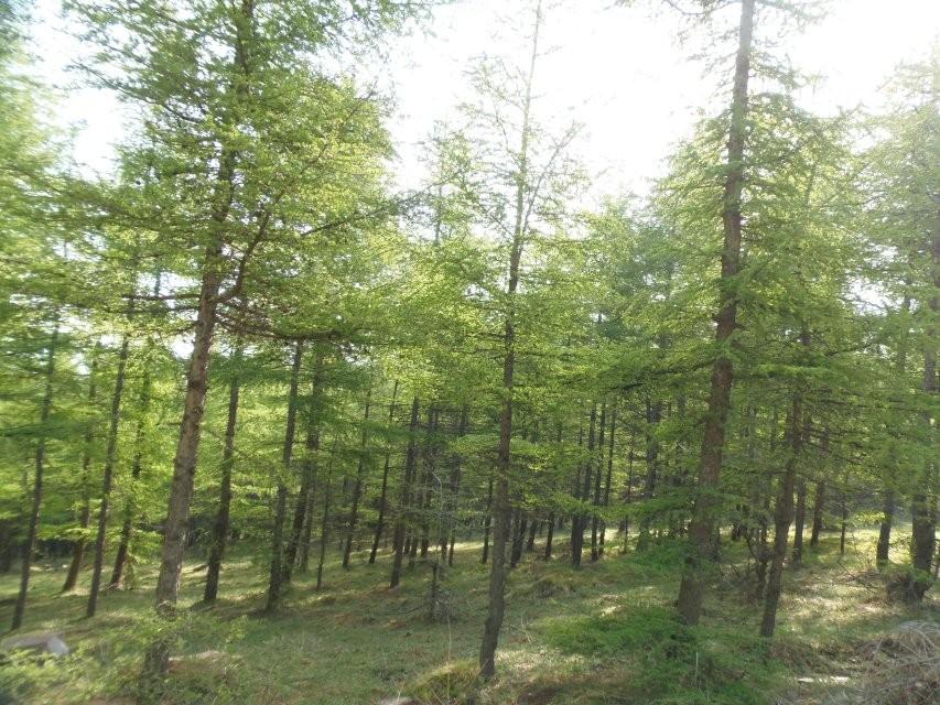 好一片茂密的松树林,久在都市生活的我们