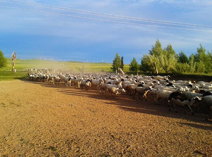 羊群.jpg