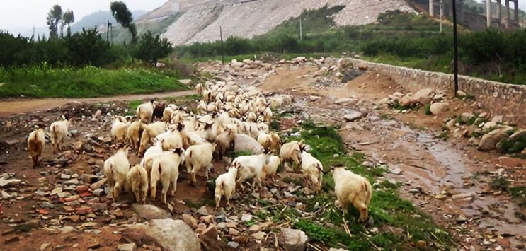 西灵山位于河北张家口市涿鹿县,在北京西边与河北交界的区域。这座河北第二高山海拔2420米,与海拔2303米的东灵山相邻,两山直线距离约15公里。相对于东灵山来说,西灵山是人迹比较稀少的,去的人大都是驴友。 8月30日黑马户外一行78人,踏上去往河北第二高峰的西灵山之路。一路上畅通无阻、心情愉悦、欢声笑语。当到达鲍家口服务区时,因前方修路,只得下车步行至西灵山山脚下,需要行走4、5公里。一路上都是鸡蛋大小的石子,阻力很大,大约走了一半的时候,领队黑马王子亲自上阵为大家拍了合影全家福。然后马不停蹄的继续赶路