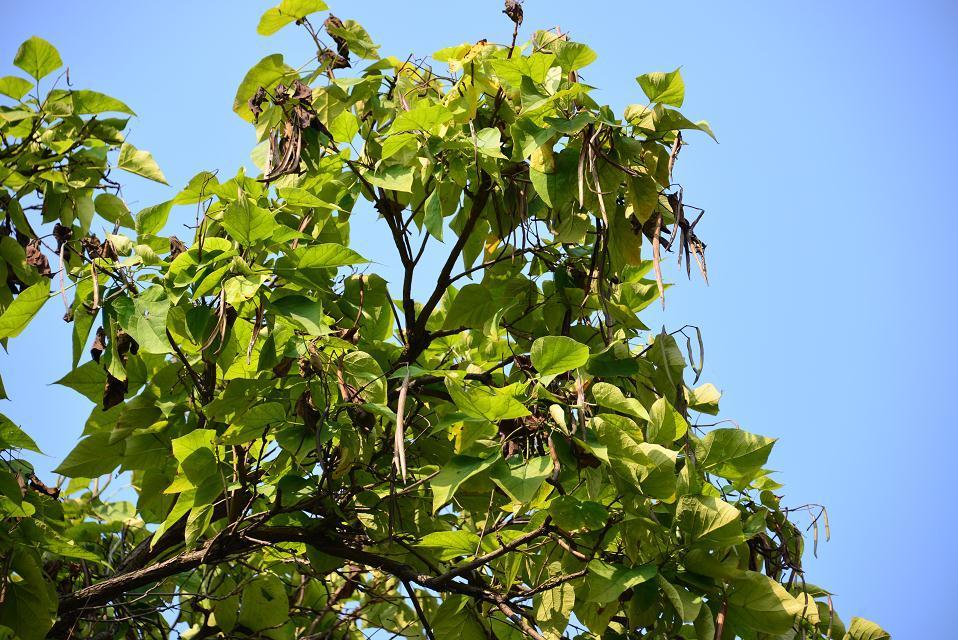 梧桐树与果实