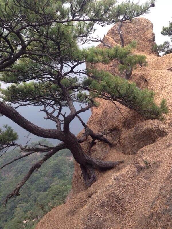 千山的松树,生长在岩石上