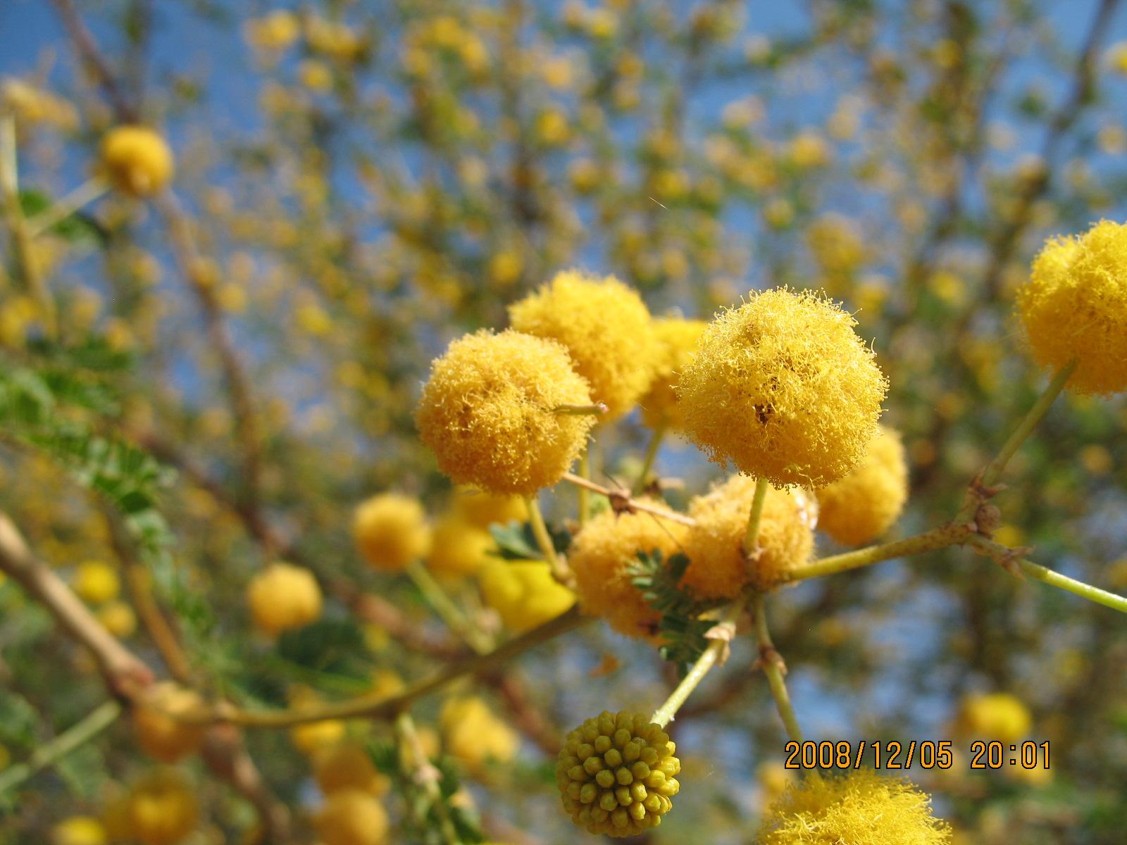 非洲的花树