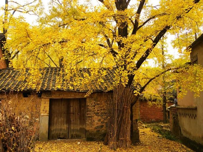 壁纸 风景 森林 银杏 银杏树 银杏叶 桌面 685_513