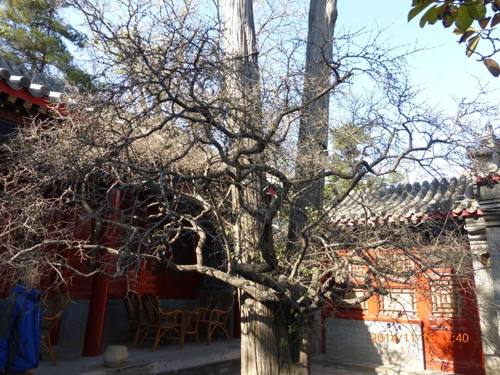 2014年11月16日 大觉寺看银杏树