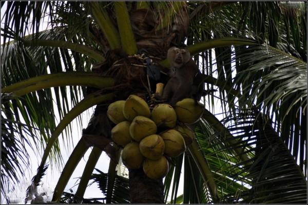 先是猴子爬在树上,然后在主人的指导下摘下椰子