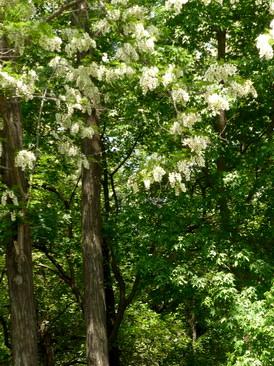 刺槐树写生手绘速写