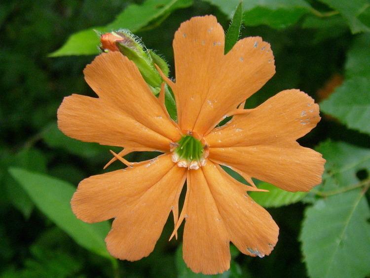 植物摄影之大花剪秋罗
