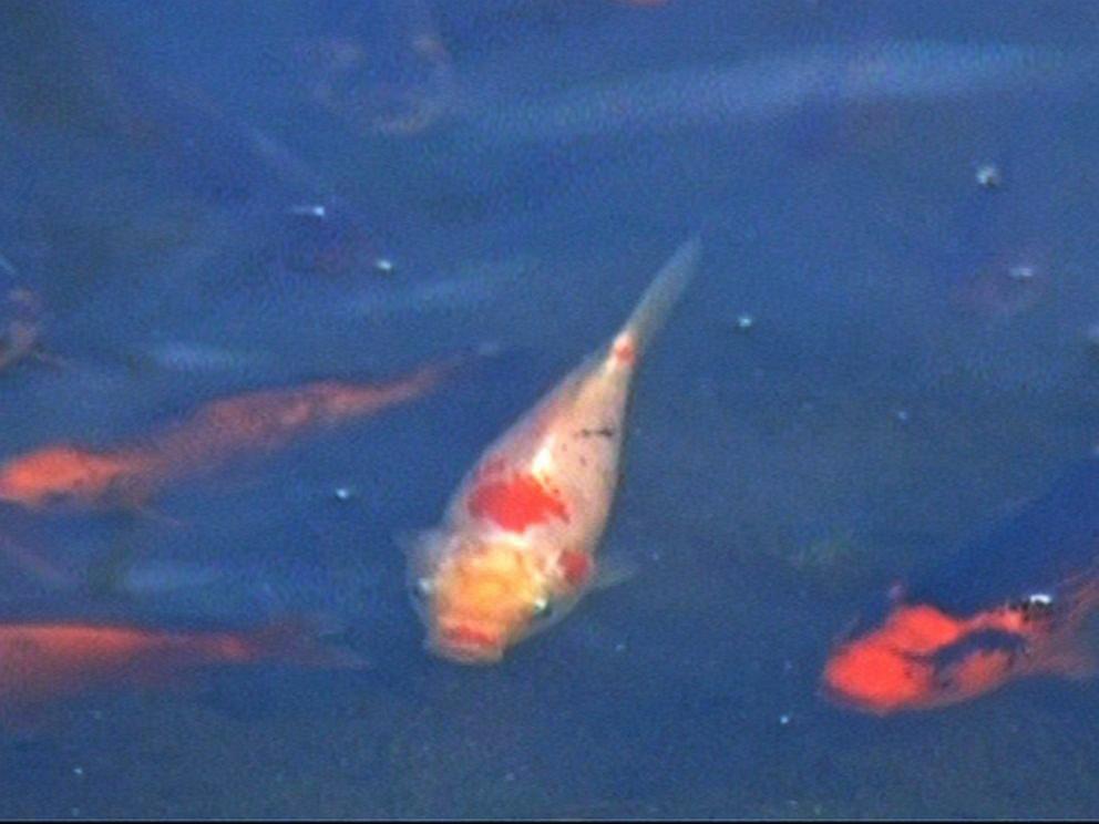 虽然成片色彩艳丽的金鱼看上去十分美观,但是科州公园及野生动物保护官员说,这真是个坏事。因为这帮金鱼在这湖里没有天敌,迅速大量繁殖,会吃掉湖里原本生活的鱼类、两栖动物、甚至鸟类所需要吃的所有东西,引发一系列连锁反应。恐怕在未来几年之内,就会让这个湖里的其他物种都灭绝。