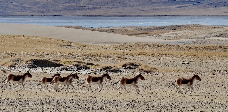阿里高原的野生动物(摄于2014年10月)