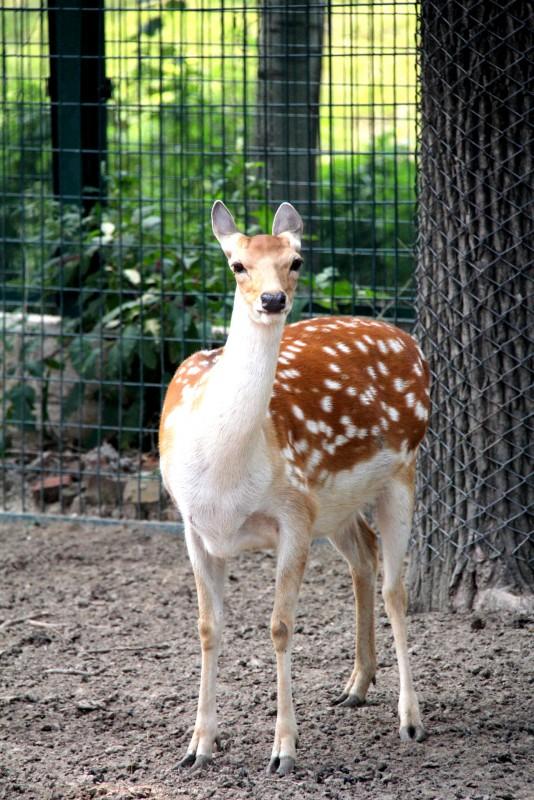 西方写实动物麋鹿