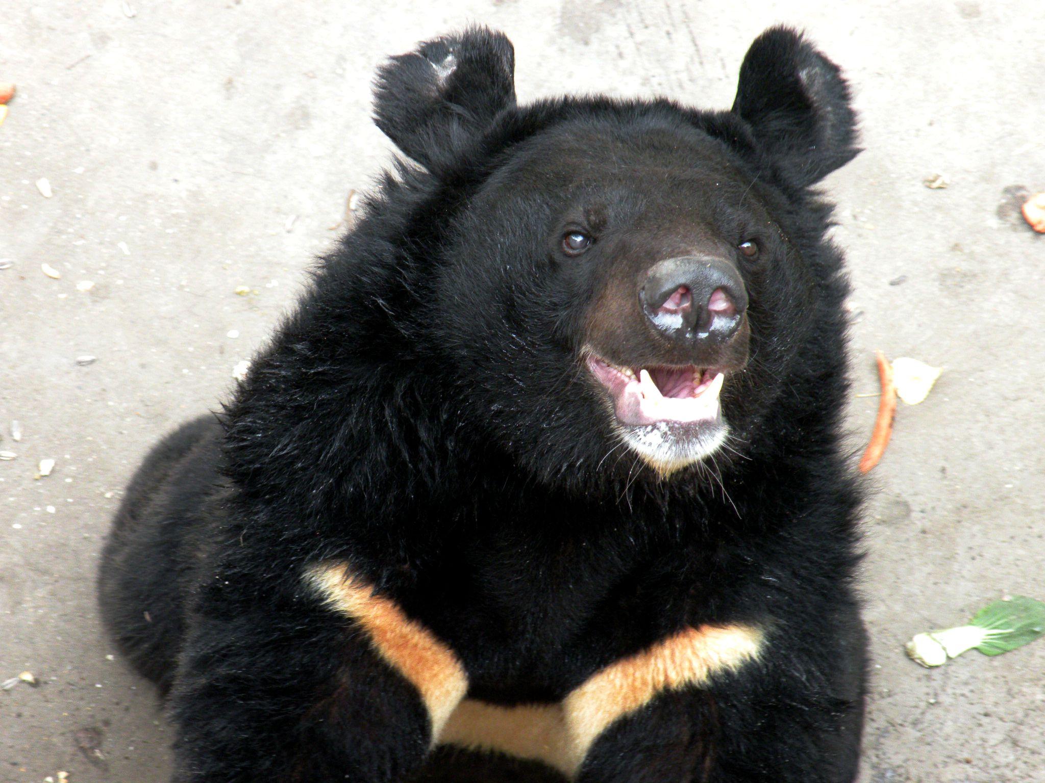 以前没怎么注意过黑熊