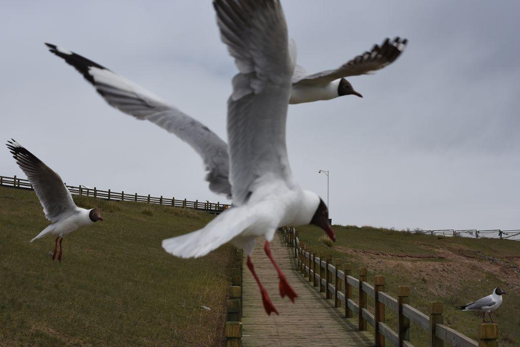 鸟岛 275.jpg