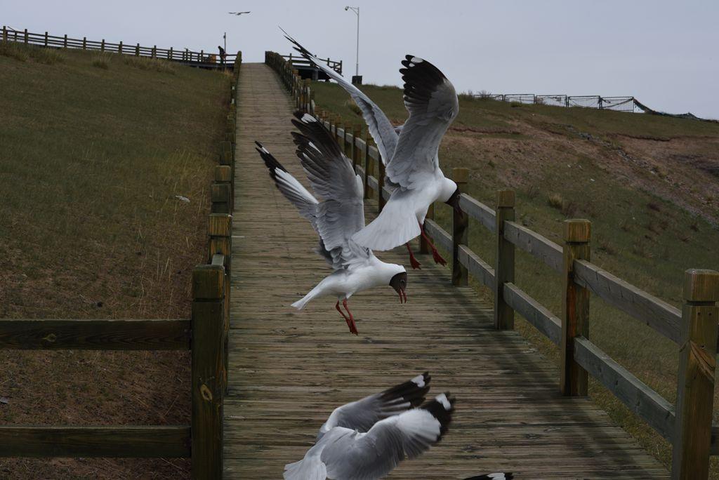 鸟岛 267.jpg