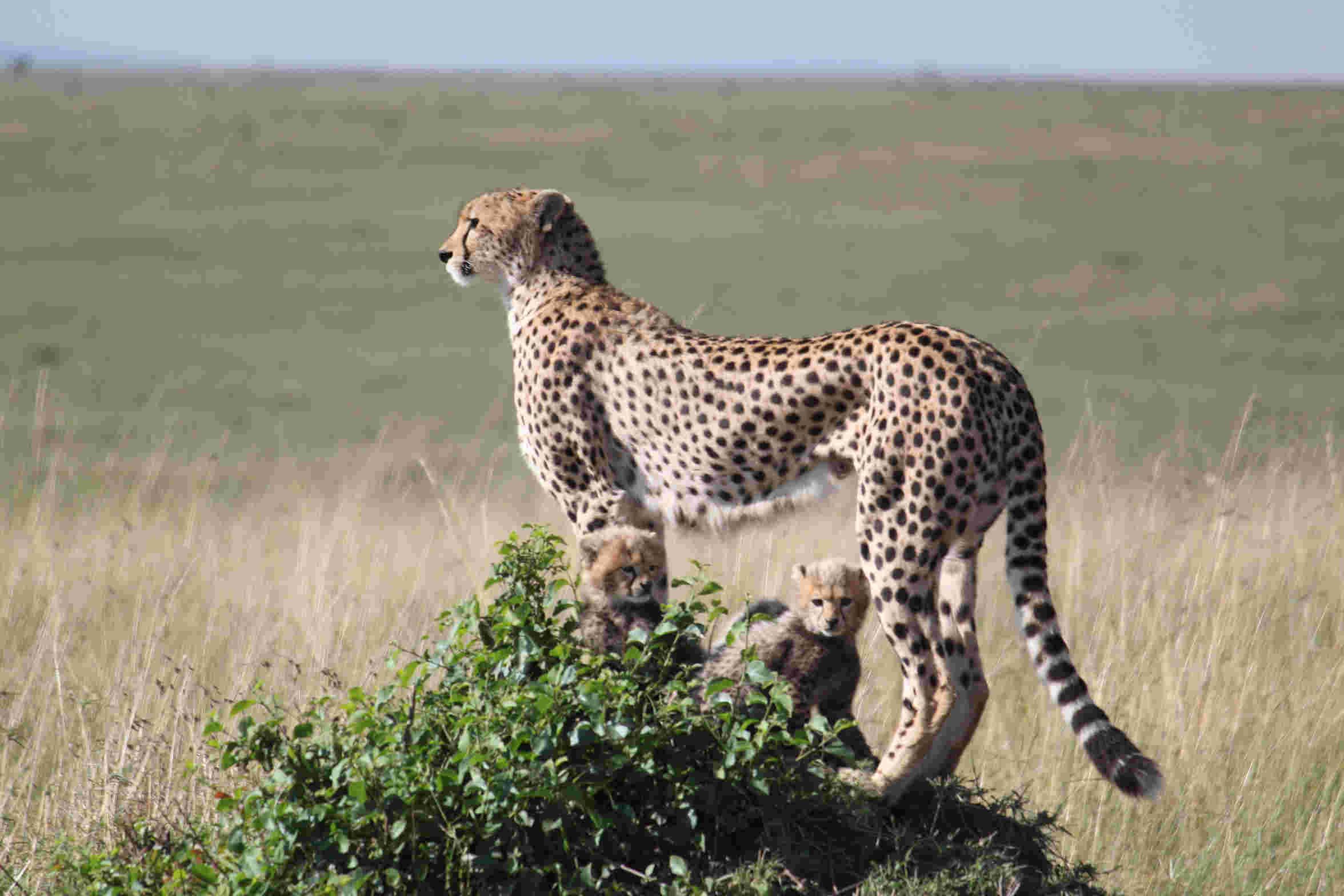 肯尼亚动物大迁徙——非洲狂野体验之一
