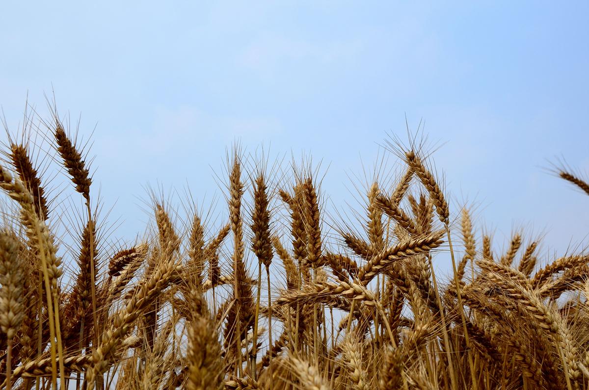 幼儿麦子立体手工